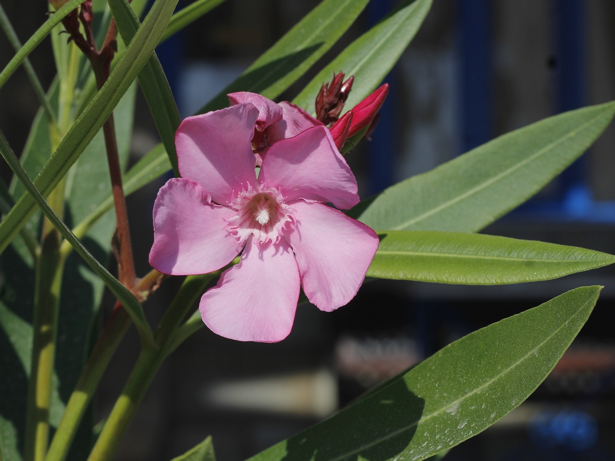 tropcial flower - pink flower - fleur rose