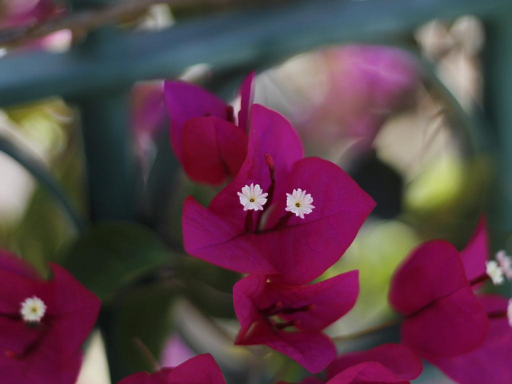 faro - portugal - flower